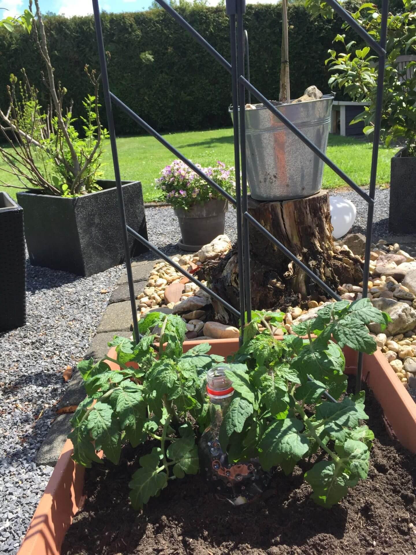 Tomatenpflanzen mit Emsa Rankgitter 2teilig