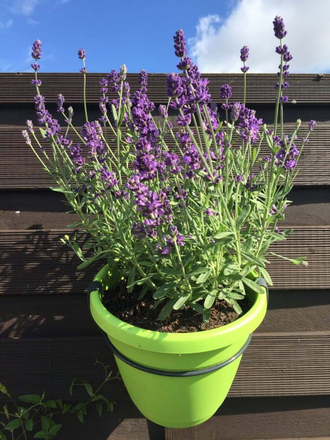 Lavendel im Emsa Hängetopf