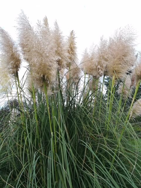 Pampasgras wiegt sich im Wind