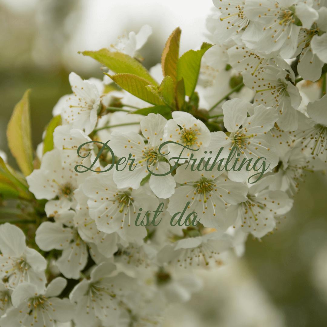 Kirschblüten - ein Canva Bild