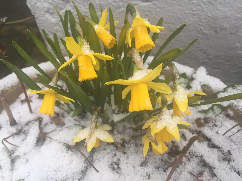 Mini Narzissen im März Schnee