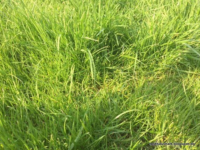 Kuhwiesengras
