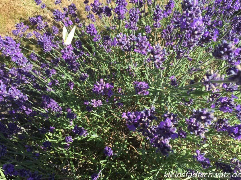 Lavendel mit Kohlweißling