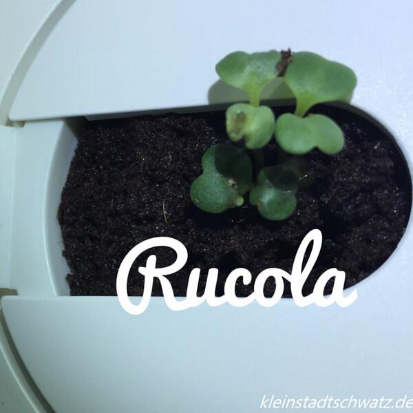 Rucola Tag 4